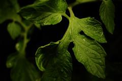 Solanum lycopersicum (Daniel Gillespie) Tags: lite led panels manualfocus 550d t2i 24mmsigma litepanels 24mmsigmamanualfocus