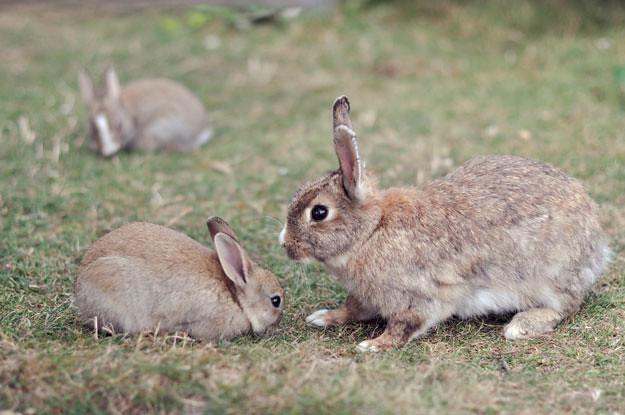 bossy big rabbit