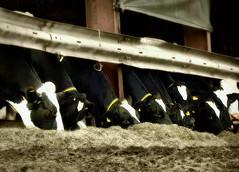 Feeding Time (webeyer) Tags: cattle cows feeding hay farn