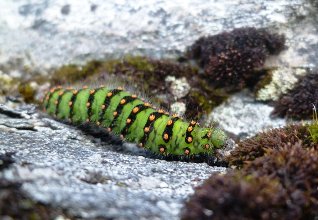 Grønn larve