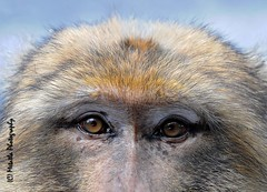 Barbary Macaque (Metatla Photography) Tags: wild nature de monkey nikon du animaux nord afrique singe macaque magot berbre faune barbaryape macaca barbarymacaque algeriaalgrie sylvanus forts noureddine d700 yakouren nikond700 photographeanimalier metatla magotazzazga metatlaphotography visagedalgrie algriesauvage