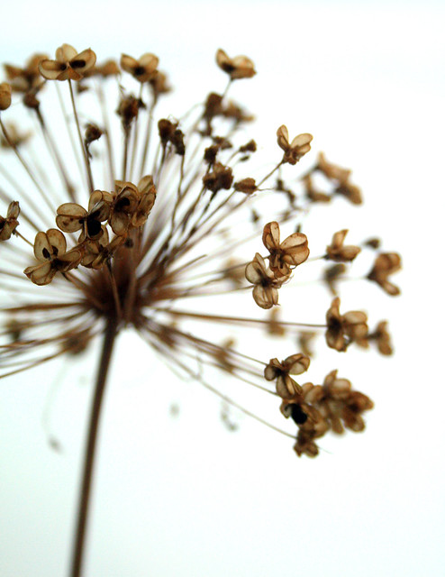 alium seed explosion