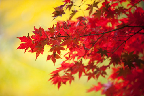 CP-maple leaves-0165