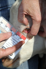 Good FAMACHA score (baalands) Tags: test eye performance maryland goat meat card pasture western worms score anemia famacha 2011goattest
