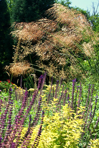 stipa gigantea wave