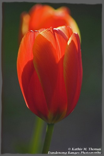 Red tulip in sunlight
