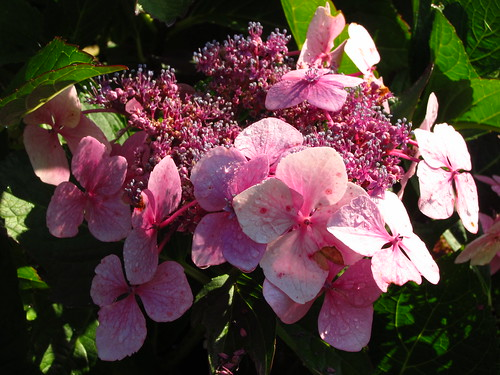 Lacecap Hydrangea in the Japanese Garden