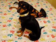 Mioni e Safira ( Debora  ... very busy!) Tags: brazil dog pet cute brasil mutt gimp cachorro bestfriend mongrel riograndedosul querida brsil viralata cadela fmea safira animaldeestimao uruguaiana carinhosa mioni
