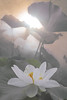 White lotus flower - IMG_9894-1-800 (Bahman Farzad) Tags: white flower macro yoga peace lotus relaxing peaceful meditation therapy lotusflower lotuspetal lotuspetals lotusflowerpetals lotusflowerpetal
