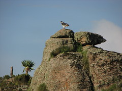 The Beautiful Augger Buzzard everywhere in Guassa (Solimar International) Tags: tourism community ethiopia comunity guassa