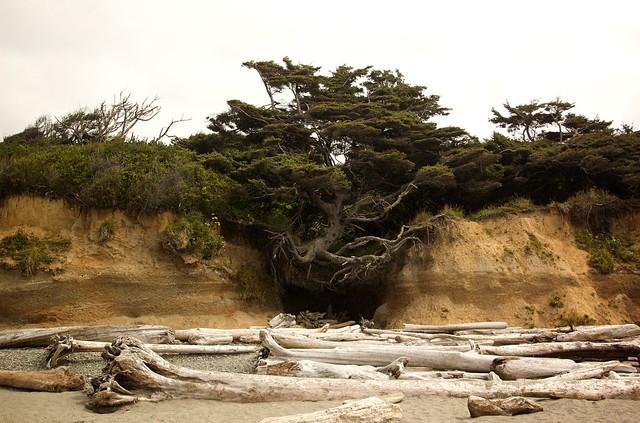 kolaloch tree