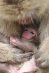 Happy Birthday(Aug 23,2011 Explore ) (Masashi Mochida) Tags: baby snow japan monkey nagano jigokudani newlife