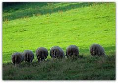 grandpa´s combine harvesters (rafischatz... www.rafischatz-photography.de) Tags: nature sheep pentax tamron70300 k200d naturetroughthelens mygearandme mygearandmepremium mygearandmebronze