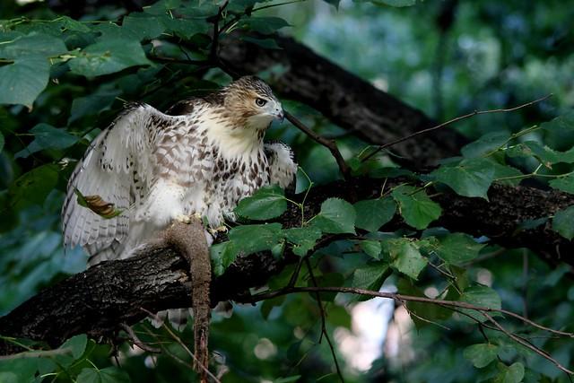 Juvenile hawk with squirrel