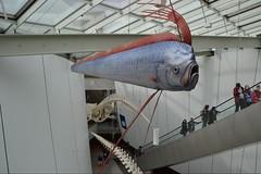 Riemenfisch (ThomasKohler) Tags: fish museum stairs germany deutschland escalator exhibition fisch stairway treppe stralsund ausstellung vorpommern mecklenburg rolltreppe oarfish hst meeresmuseum sonderausstellung ozeaneum riemenfisch