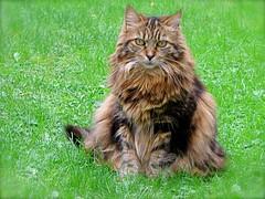 Pussy 174 (bernard-paris) Tags: chat pussy jardin félin