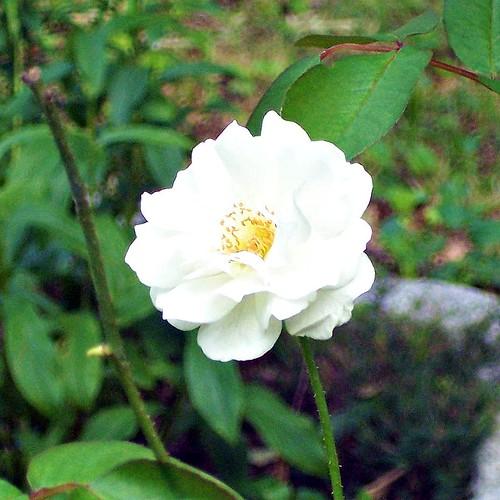 'Iceberg' rose