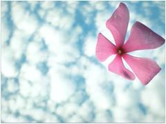 Joy (NishiKabbo) Tags: life pink blue light sky white flower color love colors clouds joy eid happiness celebration bangladesh bangla mubarak nishikabbo