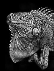 Green Iguana (Jason Hyung-gu Kang (www.jasonkangphoto.com)) Tags: wild jason green animal ga georgia safari iguana kang dda supershot abigfave hyunggu jasonkangphotocom