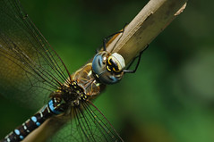 Diagon Alley (Paul:Ritchie) Tags: blue macro nature animals nikon bokeh wildlife insects hampshire bugs newforest invertebrates odonata sigma105mmmacro migranthawker aeshnamixta nikond90 paulritchie wwwhampshiredragonfliescouk
