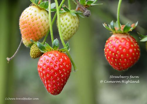 Strawberry farm5