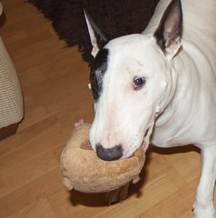 Playtime1_6 (StooMathiesen) Tags: dog pet stuffedtoy playing cute canon toy eos playtime dodger englishbullterrier 50d stoomathiesenphotography stoomathiesen