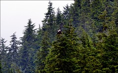Birds - Two Bald Eagles (blmiers2) Tags: travel bird nature birds alaska nikon baldeagles d3100 blm18 blmiers2