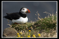 """Puffin <a style=""""margin-left:10px; font-size:0.8em;"""" href=""""http://www.flickr.com/photos/66444177@N04/6108427201/"""" target=""""_blank"""">@flickr</a>"""