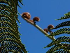 Madeira: Baumfarn (lumobu) Tags: madeira farn baumfarn palmfarn farnbaum farnpalme