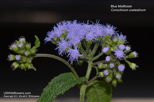 Blue Mistflower - Conoclinium coelestinum