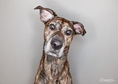 Ringflash fun 3 (chad.latta) Tags: dog animal mix lab sam flash canine boxer ringflash strobe kayce boxador chadlatta