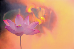 Lotus Flower - IMG_5743-1000 (Bahman Farzad) Tags: pink flower macro yoga peace lotus relaxing peaceful meditation therapy lotusflower lotuspetal lotuspetals lotusflowerpetals lotusflowerpetal