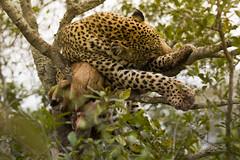 Cheetah_Lying_On_Impala_In_Tree_Med (badgerpie) Tags: africa tree southafrica climb sleep leopard impala sabisands supershot chitwachitwa badgerpie