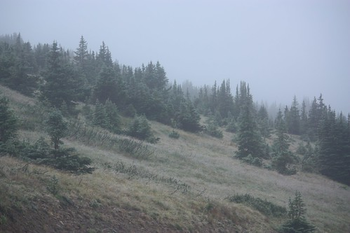Misty Trees at Treeline