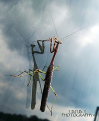 Well just don't look at me! ( B.H.B. PHOTOGRAPHY ) Tags: blue sky white reflection window nature beautiful clouds georgia mantis flickr praying bluesky prayingmantis austell 2011 austellgeorgia bhbphotography bhbphotography