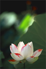Lotus Flower - Buzz Filter - Available_Light_Photography - IMG_5132-800 (Bahman Farzad) Tags: light flower macro buzz photography natural lotus filter lotusflower lotuspetal availablelightphotography naturallightphotography lotuspetals lotusflowerpetals lotusflowerpetal