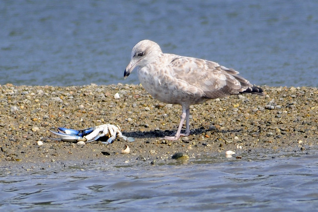 Juv gull with blue crab 4