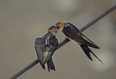 Swallow (Saleh Alnemari) Tags: swallow      salehnemari salehalnemari  alnemariphotocom