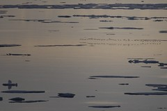 _MG_4647 (Clare Kines Photography) Tags: canada reflection nature birds duck wildlife flight arctic waterfowl nunavut kingeider arcticbay somateriaspectabilis