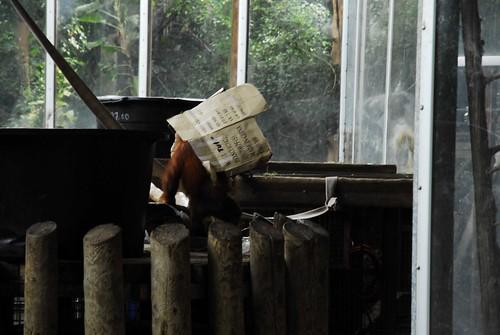 Bashful Orangutang