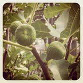 Aug 8: 11:11 am, figs on my tree by LPCheney67