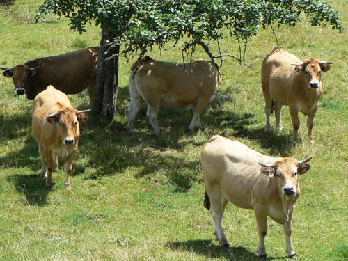 vaches au soleil.jpg
