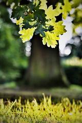 Oak Tree (Snapseed edit) (Humphrey Hippo) Tags: tree green grass leaves sunshine 50mm gold oak bokeh hampshire oaktree romsey canonef50mmf18ii ipadedit snapseed