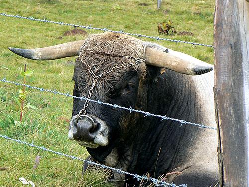 tête de taureau.jpg