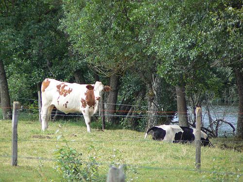 les vaches au bord de la Truyère.jpg