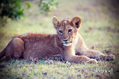 simba (jaki good miller) Tags: africa animal interestingness kenya lion safari explore exploreinterestingness jakigood lioncub maasaimara top500 explored wildlioncub