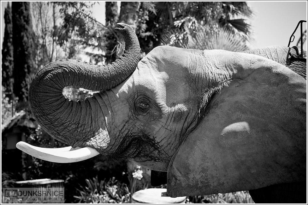 Elephant B&W.