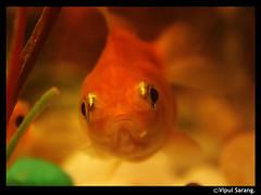 Gold Fish (vipul sarang) Tags: goldfish snail maharashtra mumbai alibaug narimanpoint alibaugbeach indianmyna anawesomeshot vipulsarang salunkhi