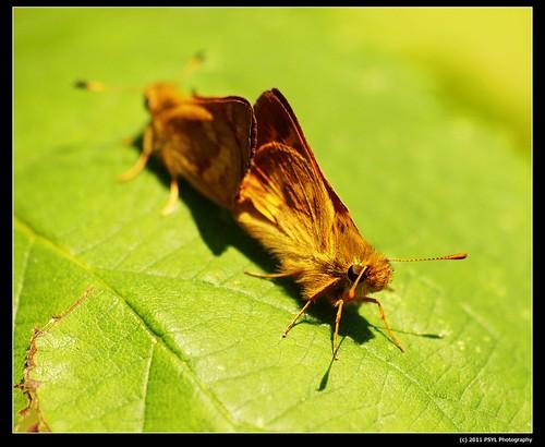 Mating Woodland Skippers (Ochlodes sylvanoides)