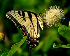 Fluted Swallowtail on Button Bush (l_dewitt) Tags: flower nature butterfly outdoors bush nikon connecticut wildlife newengland button northeast swallowtail southeastern buttonbush d5000 mygearandme mygearandmepremium mygearandmebronze mygearandmesilver mygearandmegold